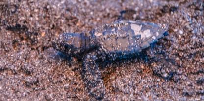 Sea Turtle Isla los Brasiles