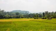 Rice Plantaion