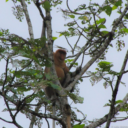 Proboscis monkey (he is the boss of the Herrencircle)