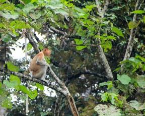 Wtf** (Proboscis monkey)