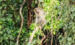 Longtail Monkey
