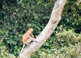 Dad taking care of his baby (Proboscis monkey)