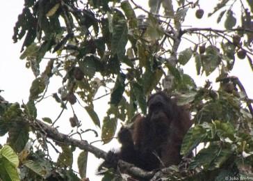 The star of the day (Orangutan)