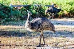 Emu @ Grampians National Park