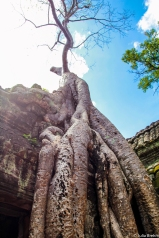 Tree taking over ruins of Angkor Wat